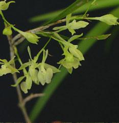 Epidendrum filicaule