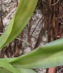 orquídea doente